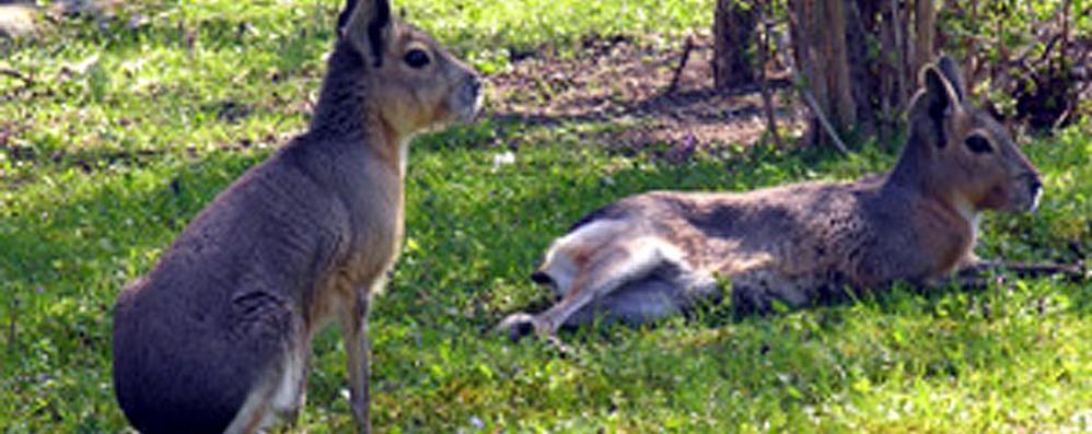 Pusiano, wallaby a lieto fine  Restano sull'isola che diventa zoo