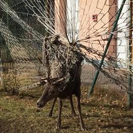 Impigliato nella rete sul campo da calcio  Cervo muore di paura