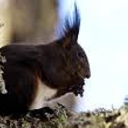 Studio dell'Insubria: scoperto  in Italia un nuovo scoiattolo