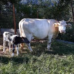 Ponna, la mucca Pierina muore nel dirupo Volevano toglierle il campanaccio