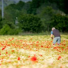 Esplosione della natura alle porte di Como  La fioritura dei papaveri a Lazzago