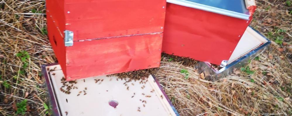 Vandali a Maccio, arnie distrutte  «Mi hanno ucciso 90mila api»