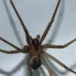 L'estate del ragno violino  Ecco come difendersi