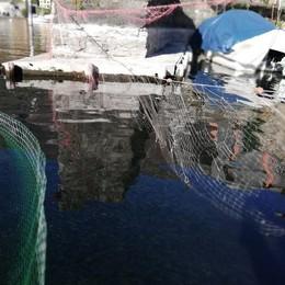 Tremezzina, cormorani killer  La Regione: «Vanno eliminati»