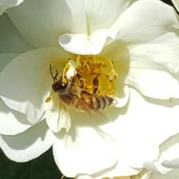 Prati fioriti per salvare le api  Il Comune offre soldi e semi