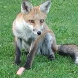 Casasco, 11 figli e una volpe  Ma il micio Ghismo protesta