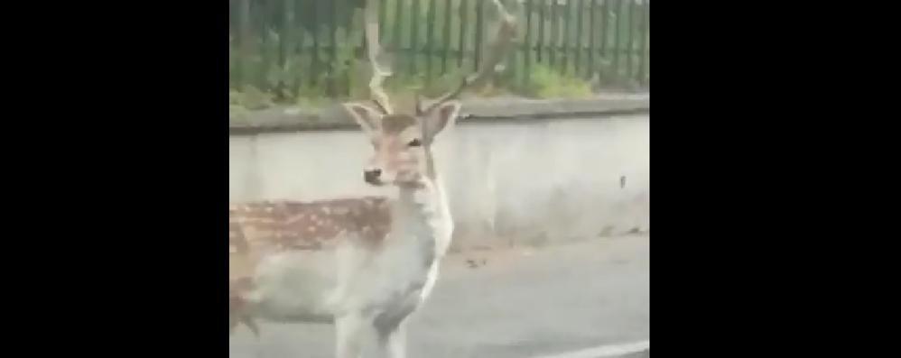 """Sorpresa di Pasqua a Parè  È ritornato il giovane daino   QUI il video della """"passeggiata"""""""