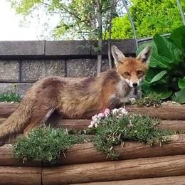 """Ecco Foxie, volpe """"modella""""  I suoi pomeriggi tra la gente"""