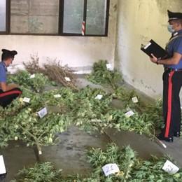"""""""Coltivavano"""" marijuana  Un arresto e due denunce"""