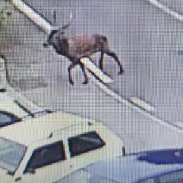 """Ronago, cervo tra le bancarelle  Vicesindaco e consigliere a """"caccia""""   GUARDA IL VIDEO"""
