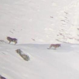Torna l'allarme lupi sui monti  Scoperta una coppia a Garzeno