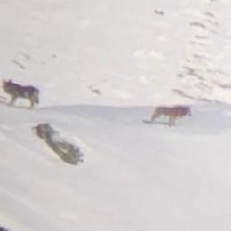 «Ma i veri lupi sono i bracconieri»  Crociata di Omassi dopo l'allarme
