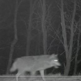 Gravedona, l'attacco del lupo  Una pecora sbranata e due ferite