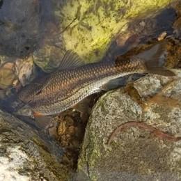 Bregnano, morìa di pesci nel Lura  «Un'indagine per scoprire le cause»